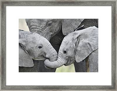 African Elephant Calves Loxodonta Framed Print by Panoramic Images