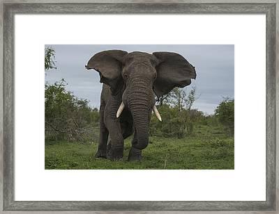 African Elephant Charging Sabi-sands Framed Print by Sergey Gorshkov