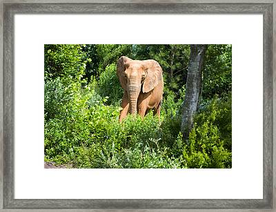 African Elephant Coming Through Trees Framed Print by Chris Flees