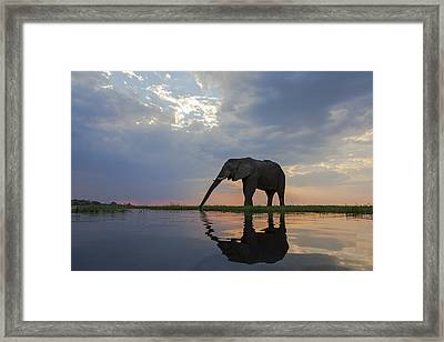 African Elephant Drinking Chobe River Framed Print by Vincent Grafhorst