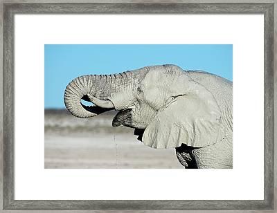 African Elephant Drinking Water Framed Print by Tony Camacho