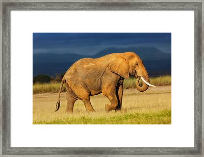 African Elephant Eating Grass Framed Print