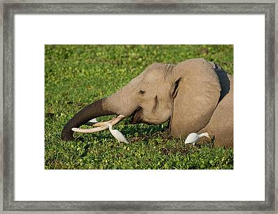 African Elephant Feeding Alongside Egrets Framed Print by Tony Camacho