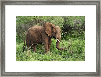 African Elephant Grazing Serengeti Framed Print by Thomas Marent