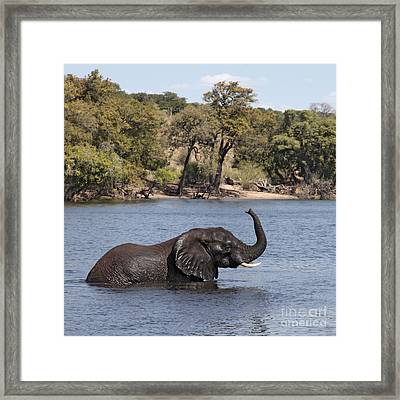 Framed Print featuring the photograph African Elephant In Chobe River  by Liz Leyden