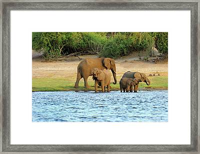 African Elephant (loxodonta Africana Framed Print