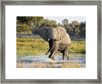 Framed Print featuring the photograph African Elephant Mock-charging by Liz Leyden