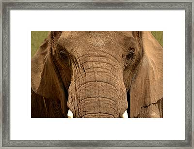 Framed Print featuring the photograph African Elephant by Nadalyn Larsen