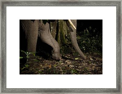 African Elephant Night Walk Kibale Np Framed Print by Sebastian Kennerknecht