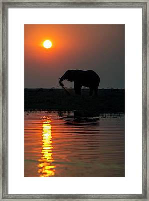 African Elephant On The Chobe River Framed Print by Peter Chadwick