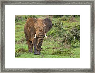 African Elephant Framed Print by Science Photo Library