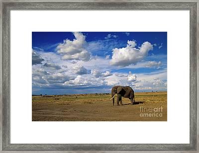 African Elephant Walking Masai Mara Framed Print by Yva Momatiuk John Eastcott
