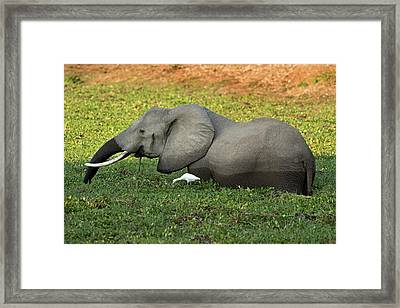 African Elephant With Cattle Egret Framed Print