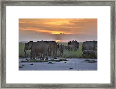 African Elephants At Sunset Framed Print by 1001slide