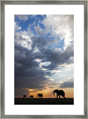 African Elephants At Sunset Botswana Framed Print