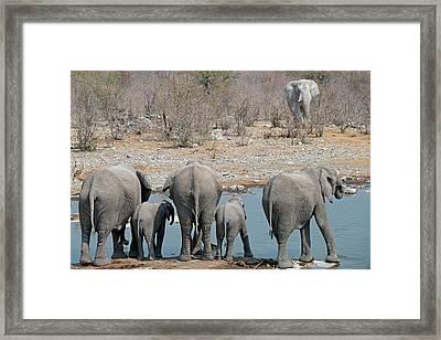 African Elephants Drinking Water Framed Print by Tony Camacho