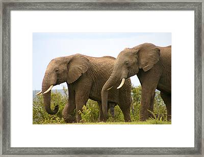 African Elephants Framed Print by Menachem Ganon