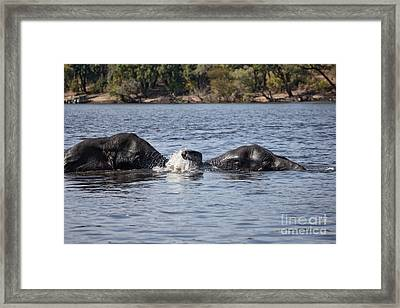African Elephants Swimming In The Chobe River Botswana Framed Print