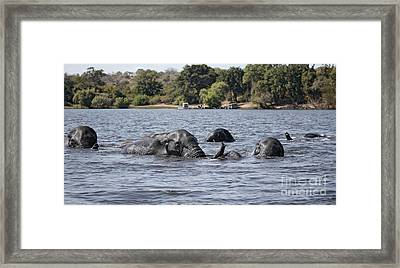 Framed Print featuring the photograph African Elephants Swimming In The Chobe River by Liz Leyden
