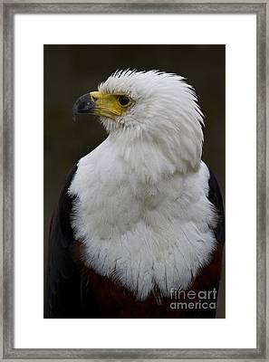 African Fish Eagle 4 Framed Print by Heiko Koehrer-Wagner