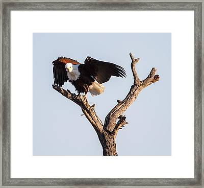 African Fish Eagle Framed Print by Craig Brown