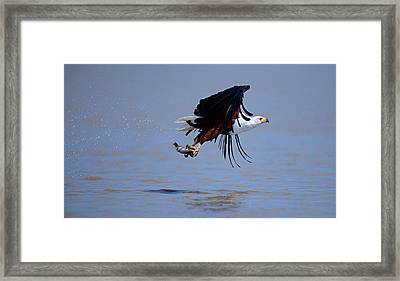 African Fish Eagle Haliaeetus Vocifer Framed Print by Panoramic Images