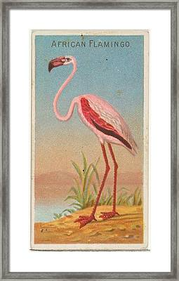 African Flamingo, From The Birds Framed Print