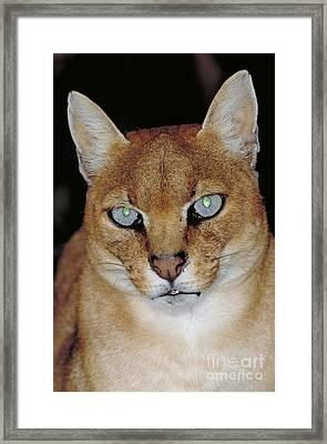 African Golden Cat Felis Aurata Framed Print by Art Wolfe