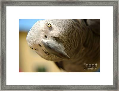 African Gray Framed Print