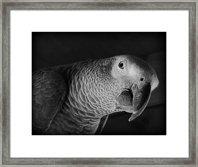 African Gray Parrot Framed Print by Mim White