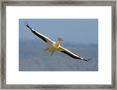 African Great White Pelican Framed Print
