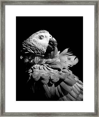 African Grey  Framed Print by Paulina Szajek