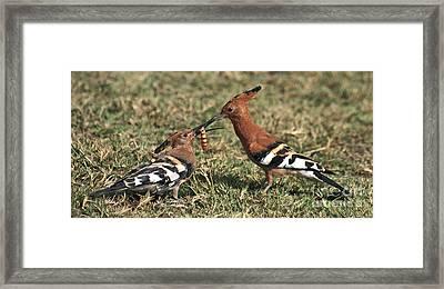 African Hoopoe Feeding Young Framed Print by Liz Leyden