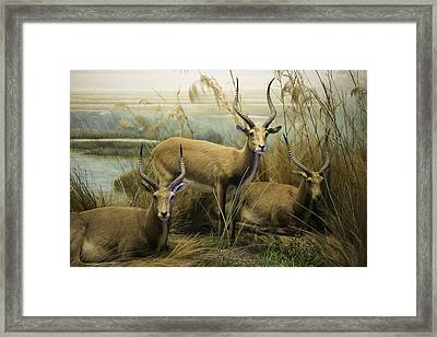 African Impalas Framed Print by Diego Re