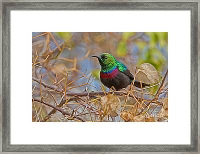 African Iridescence Framed Print