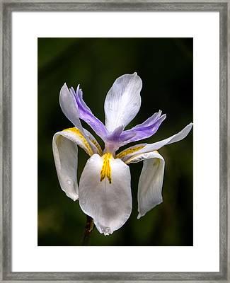 African Iris Framed Print