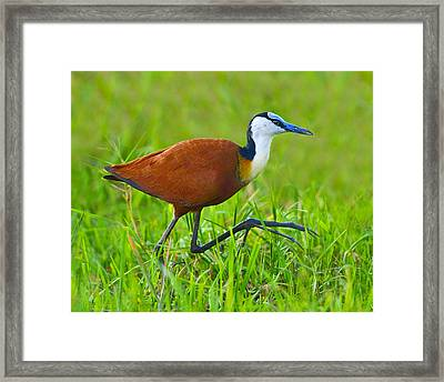 African Jacana Framed Print by Tony Beck