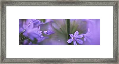 African Lily, Sacramento, California Framed Print by Panoramic Images