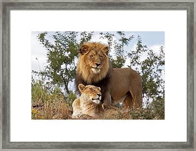 African Lion And Lioness Botswana Framed Print by Erik Joosten