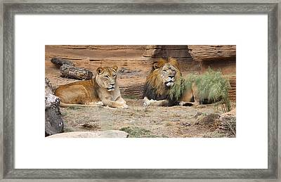 African Lion Couple 2 Framed Print by Cathy Lindsey