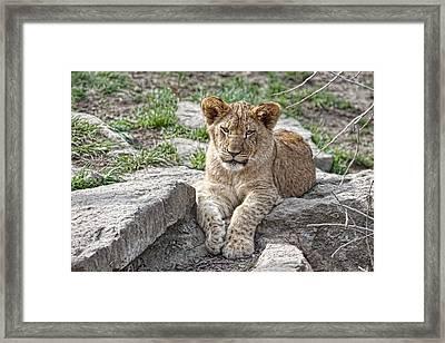 African Lion Cub Framed Print by Tom Mc Nemar