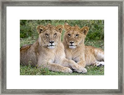 African Lion Juvenile Males Serengeti Framed Print by Erik Joosten
