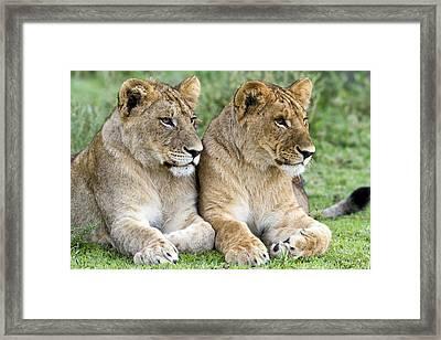 African Lion Juveniles Serengeti Np Framed Print by Erik Joosten