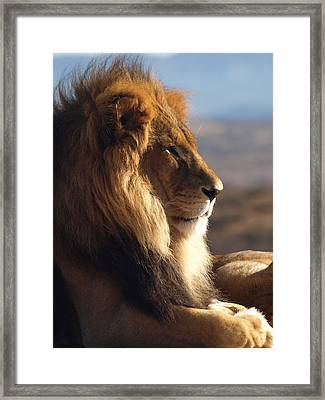 African Lion Framed Print