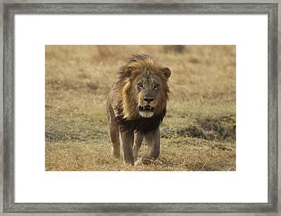 African Lion On Savanna Masai Mara Kenya Framed Print by Hiroya Minakuchi