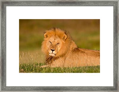 African Lion Panthera Leo, Ndutu Framed Print by Panoramic Images