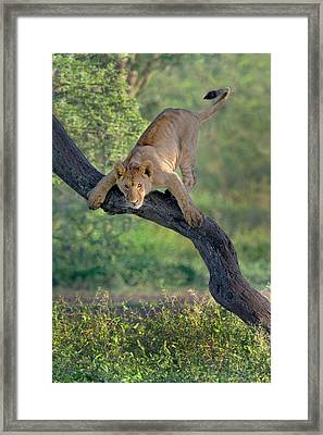 African Lion Panthera Leo On Tree Framed Print by Panoramic Images