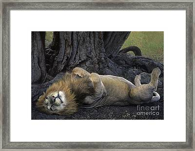 African Lion Panthera Leo Wild Kenya Framed Print by Dave Welling