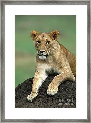 African Lioness Masai Mara Framed Print by Yva Momatiuk and John Eastcott