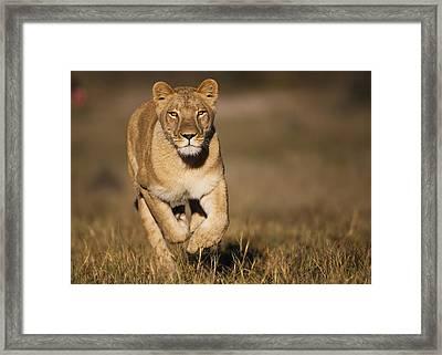African Lioness Sirga Running Kalahari Framed Print by Theo Allofs